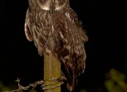 great-grey-owl-256-copyright-photographers-on-safari-com