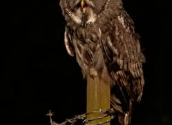 great-grey-owl-257-copyright-photographers-on-safari-com