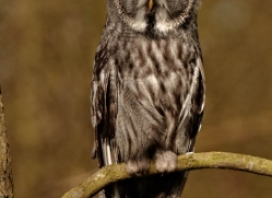 great-grey-owl-258-copyright-photographers-on-safari-com
