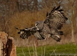 great-grey-owl-259-copyright-photographers-on-safari-com