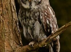 great-grey-owl-261-copyright-photographers-on-safari-com