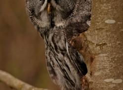great-grey-owl-262-copyright-photographers-on-safari-com