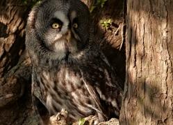 great-grey-owl-263-copyright-photographers-on-safari-com
