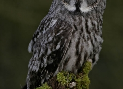 great-grey-owl-266-copyright-photographers-on-safari-com