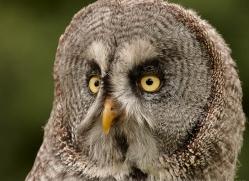 great-grey-owl-274-copyright-photographers-on-safari-com