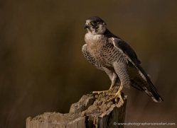 peregrine-falcon281-copyright-photographers-on-safari-com