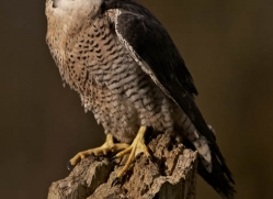 peregrine-falcon282-copyright-photographers-on-safari-com