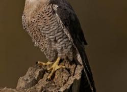 peregrine-falcon283-copyright-photographers-on-safari-com
