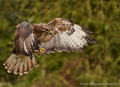 red-tailed-hawk271-copyright-photographers-on-safari-com