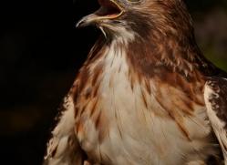 red-tailed-hawk273-copyright-photographers-on-safari-com