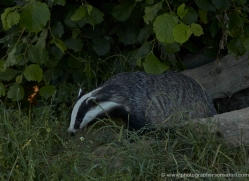 badger-british-wildlife-2649-copyright-photographers-on-safari-com