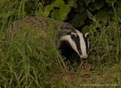 badger-british-wildlife-2650-copyright-photographers-on-safari-com