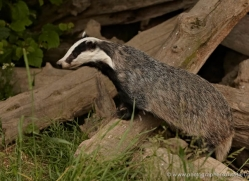 badger-british-wildlife-2651-copyright-photographers-on-safari-com