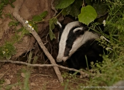 badger-british-wildlife-2653-copyright-photographers-on-safari-com