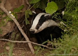 badger-british-wildlife-2654-copyright-photographers-on-safari-com