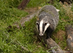 badger-british-wildlife-2655-copyright-photographers-on-safari-com