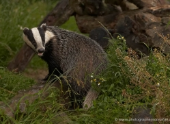 badger-british-wildlife-2657-copyright-photographers-on-safari-com