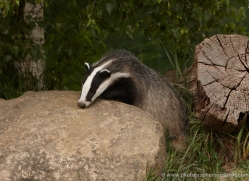 badger-british-wildlife-2661-copyright-photographers-on-safari-com
