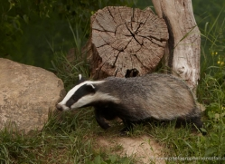 badger-british-wildlife-2663-copyright-photographers-on-safari-com
