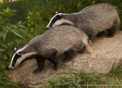 badger-british-wildlife-2664-copyright-photographers-on-safari-com
