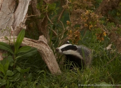badger-british-wildlife-2665-copyright-photographers-on-safari-com