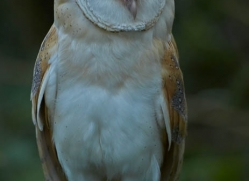 barn-owl-british-wildlife-2685-copyright-photographers-on-safari-com