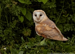 barn-owl-british-wildlife-2686-copyright-photographers-on-safari-com