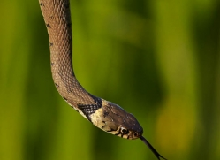 grass-snake-british-wildlife-2669-copyright-photographers-on-safari-com