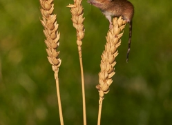 harvest-mouse-british-wildlife-2589-copyright-photographers-on-safari-com