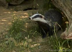 badger-british-wildlife-2648-copyright-photographers-on-safari-com