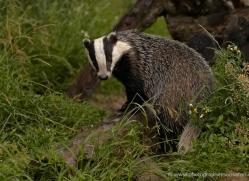 badger-british-wildlife-2656-copyright-photographers-on-safari-com