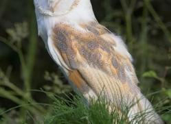 barn-owl-british-wildlife-2688-copyright-photographers-on-safari-com