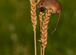 harvest-mouse-british-wildlife-2587-copyright-photographers-on-safari-com