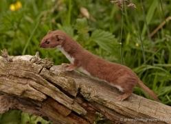 weasel-british-wildlife-2606-copyright-photographers-on-safari-com