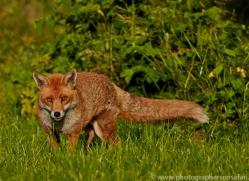 Fox 2014-2copyright-photographers-on-safari-com