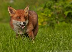 Fox 2014-3copyright-photographers-on-safari-com