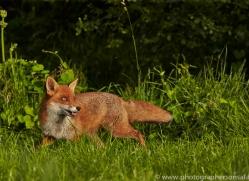 Fox 2014-4copyright-photographers-on-safari-com