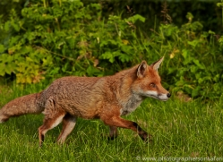 Fox 2014-5copyright-photographers-on-safari-com