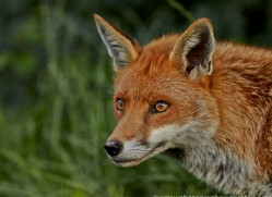 Fox 2014-6copyright-photographers-on-safari-com