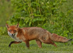 Fox 2014-7copyright-photographers-on-safari-com