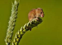 Harvest Mouse 2014-1copyright-photographers-on-safari-com