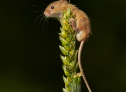 Harvest Mouse 2014-4copyright-photographers-on-safari-com
