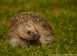 Hedgehog 2014-1copyright-photographers-on-safari-com