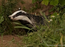badger-british-wildlife-2652-copyright-photographers-on-safari-com