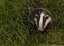 badger-british-wildlife-2658-copyright-photographers-on-safari-com