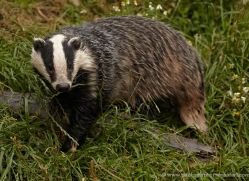 badger-british-wildlife-2659-copyright-photographers-on-safari-com