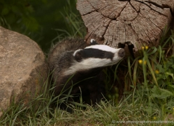 badger-british-wildlife-2660-copyright-photographers-on-safari-com