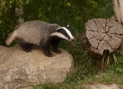 badger-british-wildlife-2662-copyright-photographers-on-safari-com