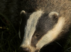 badger-british-wildlife-2667-copyright-photographers-on-safari-com