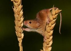harvest-mouse-british-wildlife-2592-copyright-photographers-on-safari-com